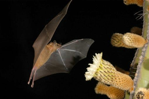 Without bats controlling numbers of crop-destroying insects, there would be a lot less food on tables right across Mexico, and without them pollinating the agave plant, there might also be no tequila with which to wash it down!
