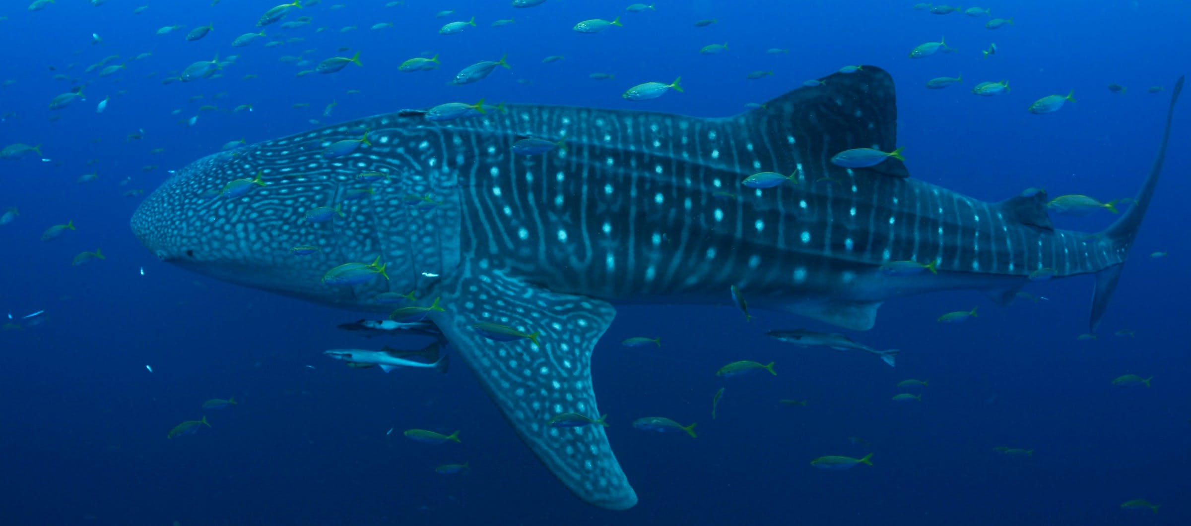 whale shark conservation india whitley award