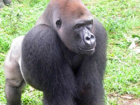 Captive cross river gorilla