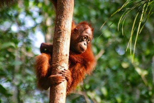 juvenile-orangutan-climbing-tree