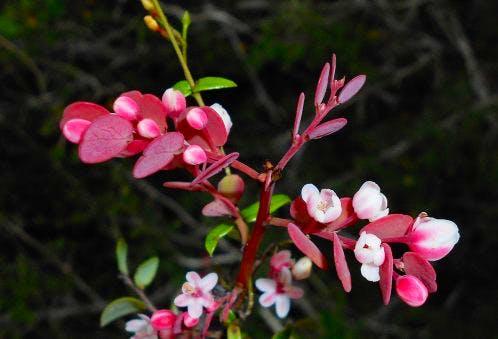 target-species-phyllanthus-orbicularis