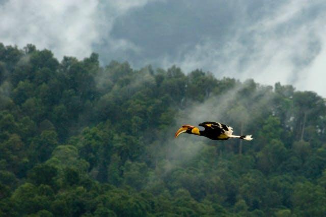 Great hornbill (by Kalyan Varma)