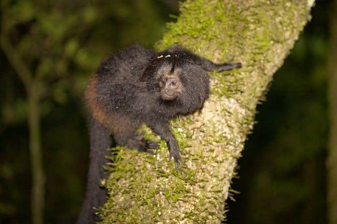 Claudio's black lion tamarin conservation work has seen the species risk of extinction downgraded