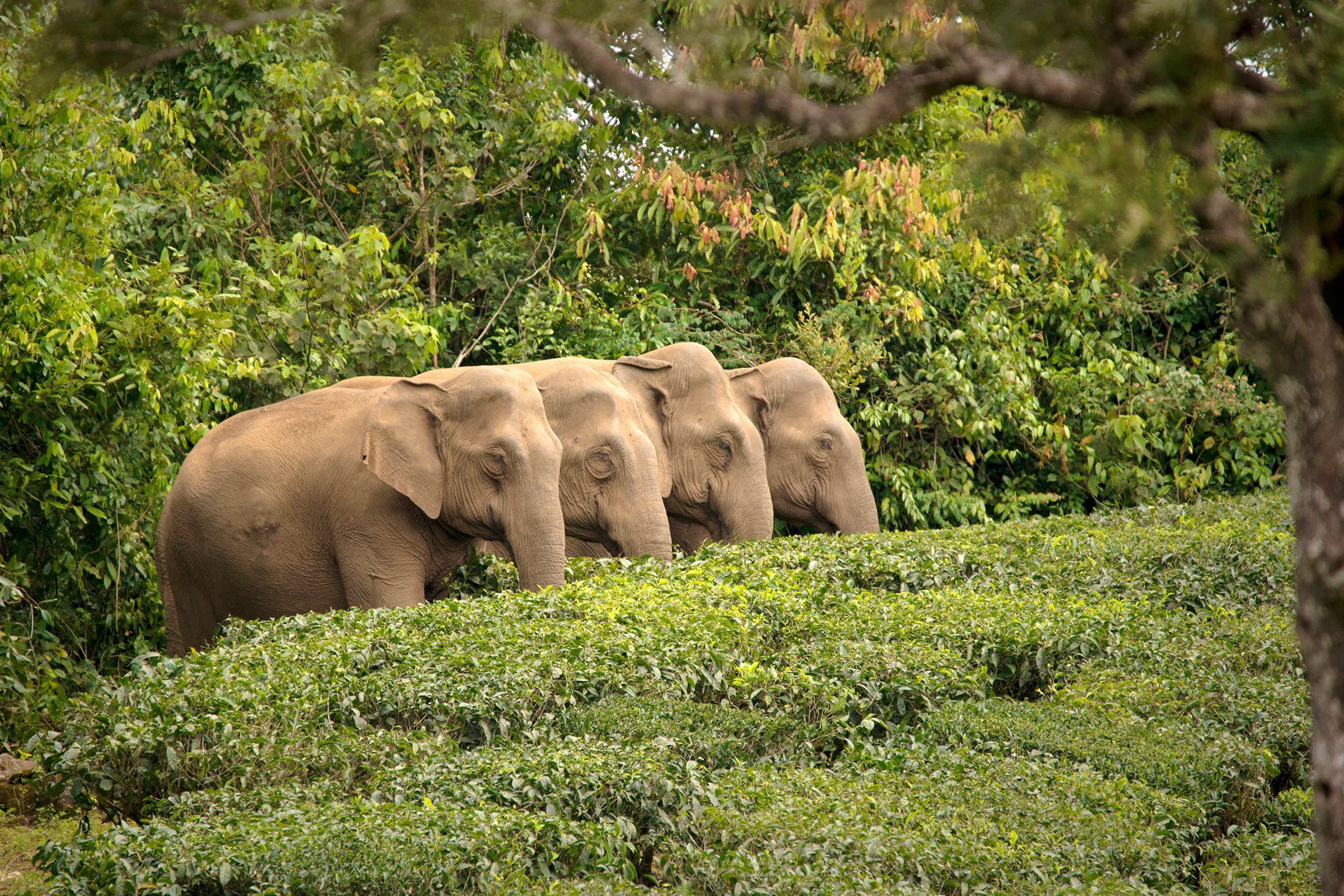 Asian elephant herd_Ganesh Raghunathan