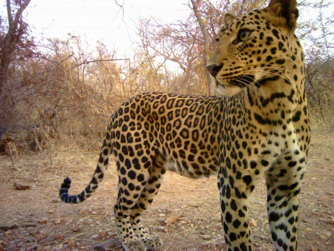 Population growth in India and the expansion of towns and cities into wild areas is increasing the potential for conflict with wild species such as leopards