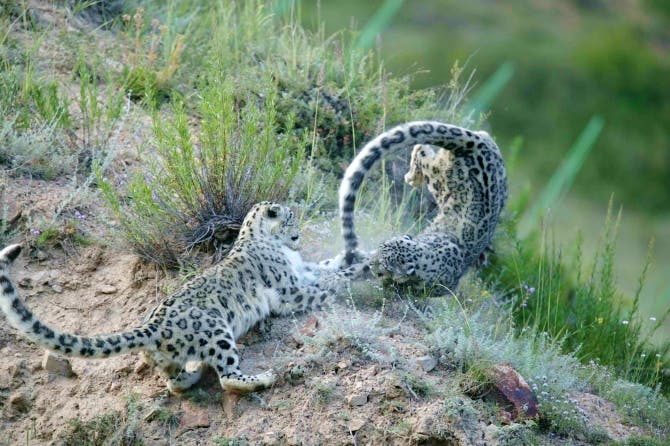 Snow Leopards_credit Cyril Grundmann_Snow Leopard Trust