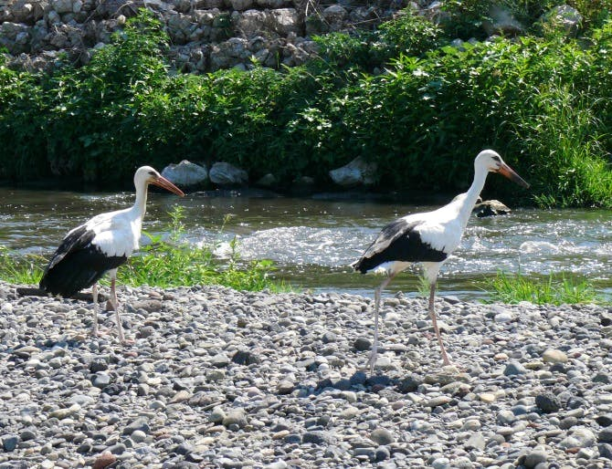 The wetlands of the south Caucusus region stretch from Armenia into Turkey and are important habitats for many wild species, including white storks