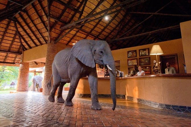Elephant in lodge