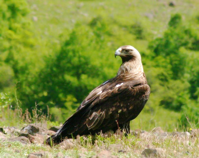 Adult Imperial eagle
