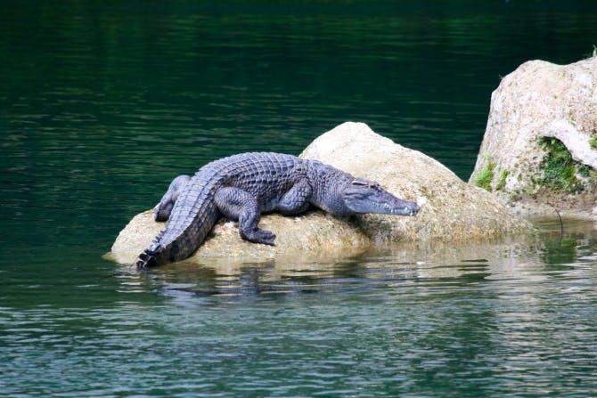 Adult Philippine crocodile in Disulap River crocodile santiary