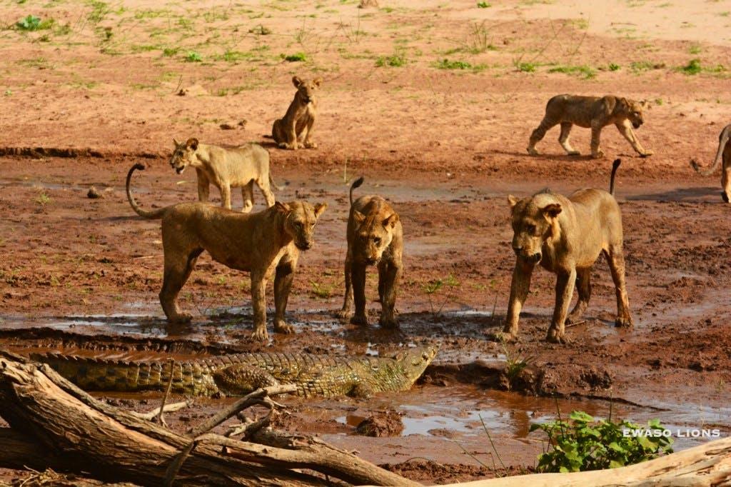 Ewaso lions confronting the crocodile