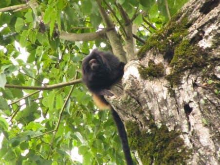 Black lion tamarin, Pontal