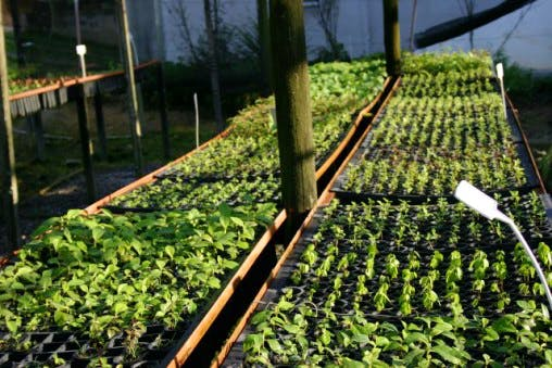 Nazare community nursery - 1 month old seedlings