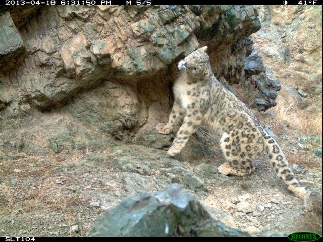 SLT snow leopard