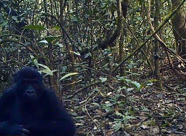 160224 Gorilla pics