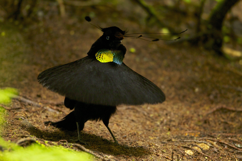 Wahnes's Parotia (Parotia wahnesi) adult male performs ballerina display.