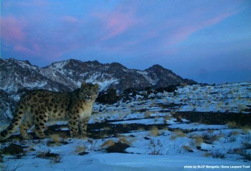 snow-leopard-mongolia